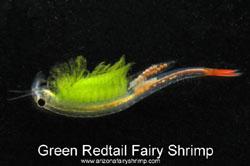 Redtail Fairy Shrimp