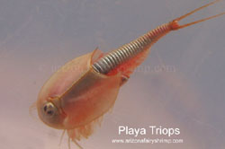 Triops from Dry Lake